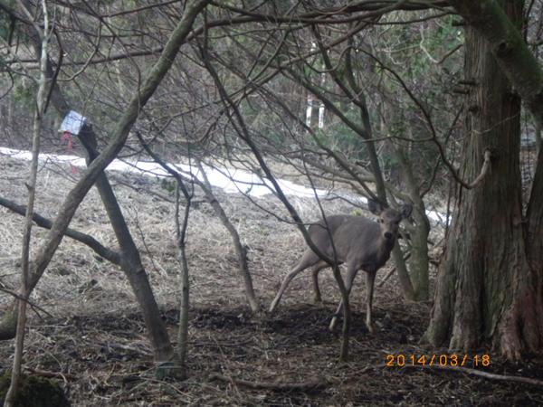 わなにかかった鹿 わなにかかった鹿は、「やばい!」という表情をしていて、こちらが近づくと必死に逃げようとします。見回りの際にはすぐに近づかず、しっかりわなが足にかかっているかを確認することが大事。その後、【止めさし=命をとめる】という作業を行います。棒で頭を叩いた後に、頸動脈にナイフを刺して、心臓が動いているうちに血抜きを行います。
