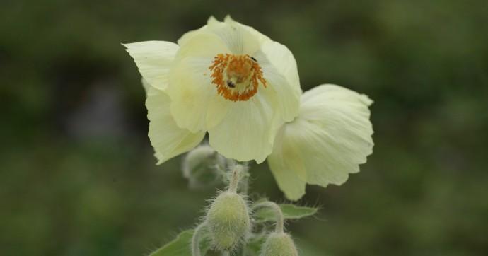 ハの固有種、ホワイトポピー(白いケシの花)