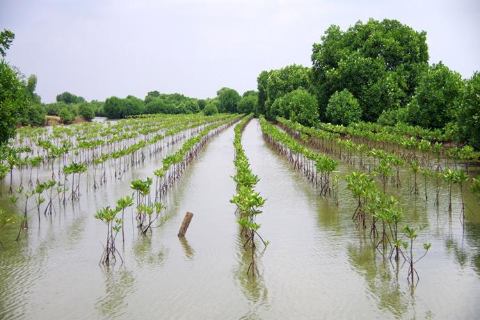 トヨタ車体グループとの協働によるマングローブ植林事業。 エビ養殖池の造成によって破壊されたジャカルタ湾のマングローブ林を回復させるため、地域住民の参加によって100haの土地に5年間かけて10万本の植林を行う