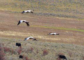 black neck cranes in Phobjikha
