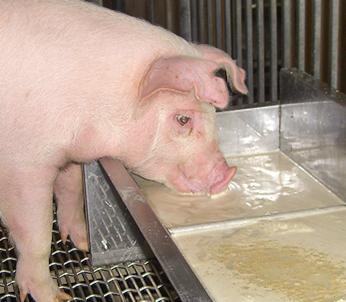 リキッド発酵飼料の給餌風景